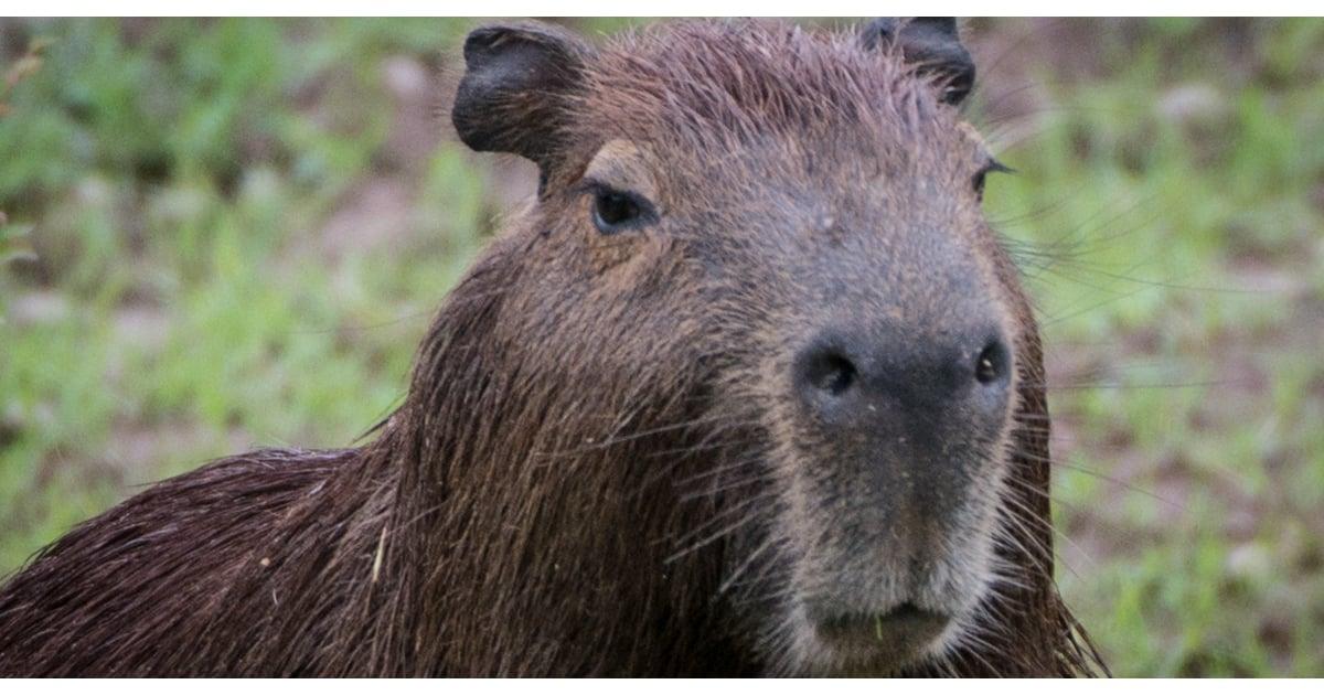 Capybara Pictures | POPSUGAR Pets