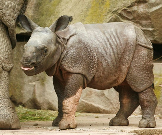 Hi, Seto Paitala: 12 Random Rhino Facts to Welcome This Babe
