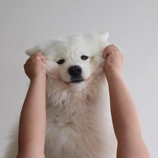 Cute Photos of Samoyed Dogs
