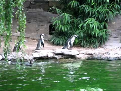Video of Penguins Chasing Butterflies