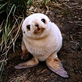 This seal pupper