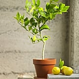 Indoor Meyer Lemon Tree