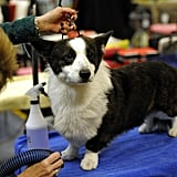 Cardigan Welsh Corgi Libby sure looks pretty!