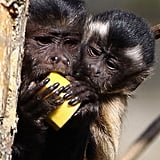 Baby Capuchin Monkeys