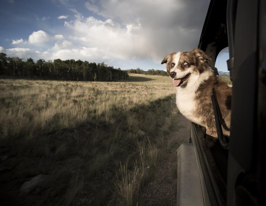 Cute Pictures of Australian Shepherds