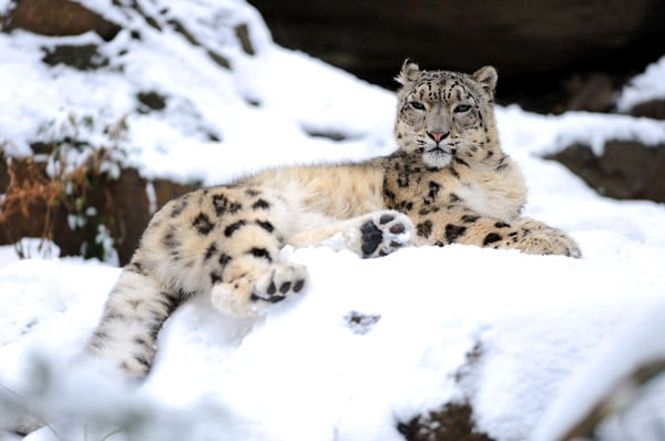 Snow leopards have small ears; thick, furry coats; compact bodies; and furry feet to minimize heat loss in their Himalayan natural habitat.