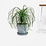 Potted Ponytail Palm Indoor Plant