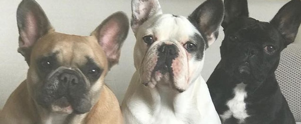 Meet Lady Gaga's 3 French Bulldogs, Koji, Asia, and Gustav