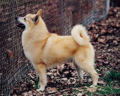 Meet the Breed: Norwegian Buhund