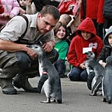 March of the Baby Penguins!