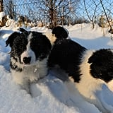 A pack of Border Collie puppies stalked through the snowy grounds.