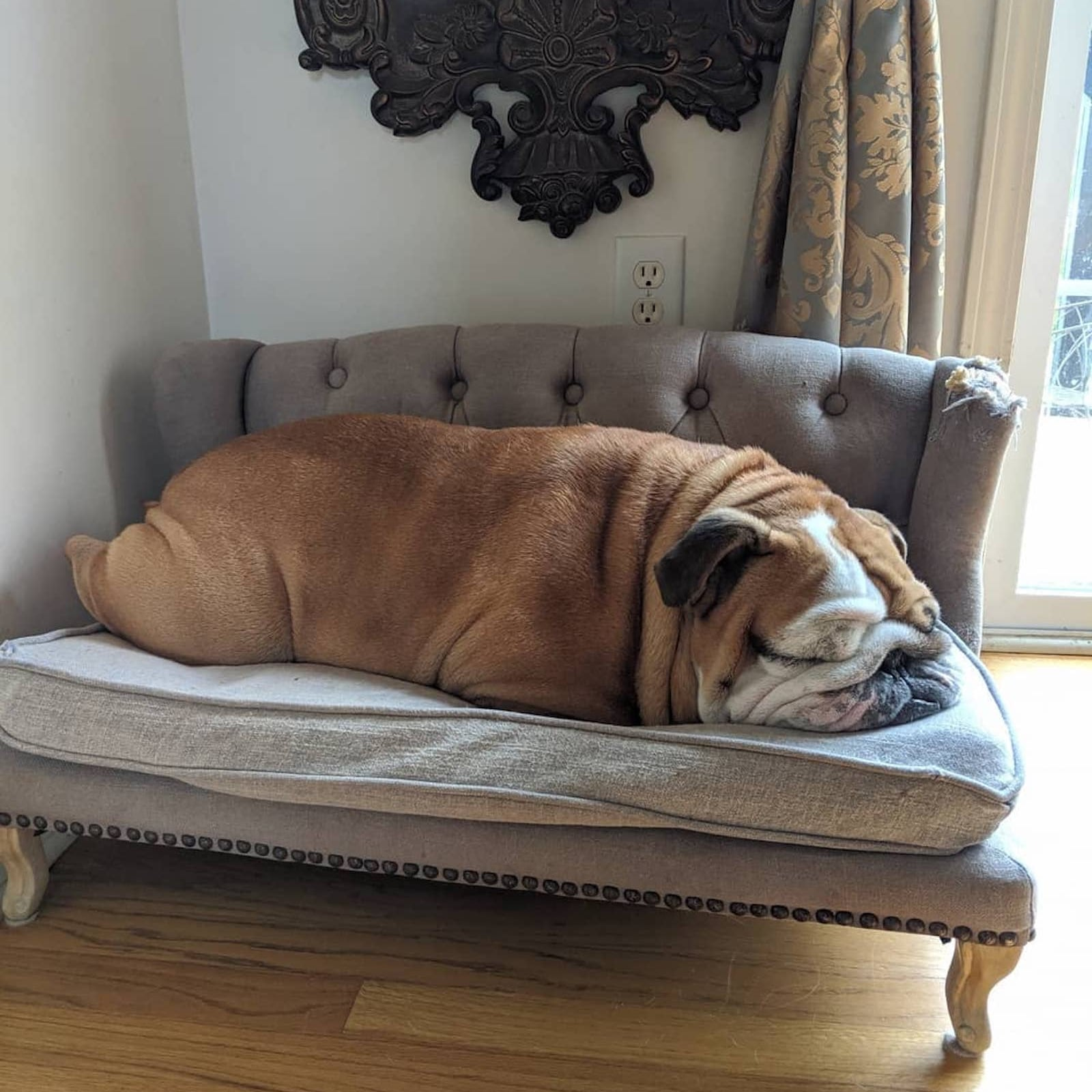Pictures of Winston the Bulldog Sleeping   POPSUGAR Pets