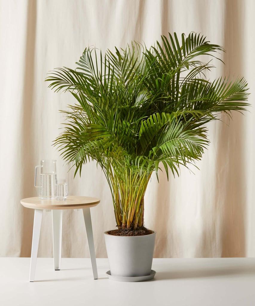 Bloomscape Areca Palm
