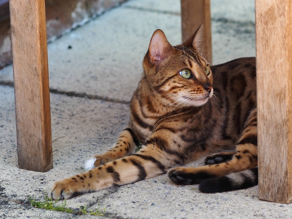 Bengal Most Expensive Cat Breeds