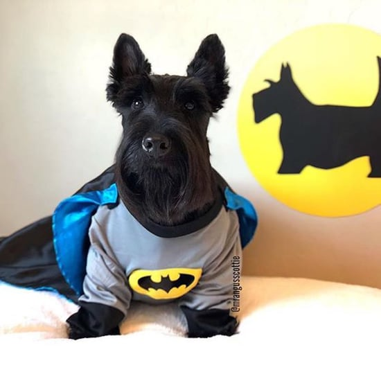 Angus the Scottish Terrier in Costumes