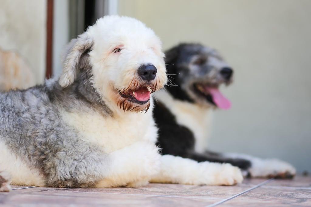 Cancer (June 22-July 22) — Old English Sheepdog