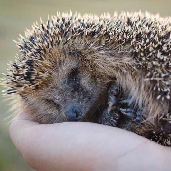 Facts About Hedgehogs