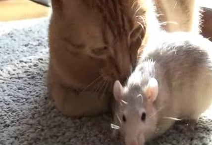 Cute Alert: Rat and Cat Are in Love