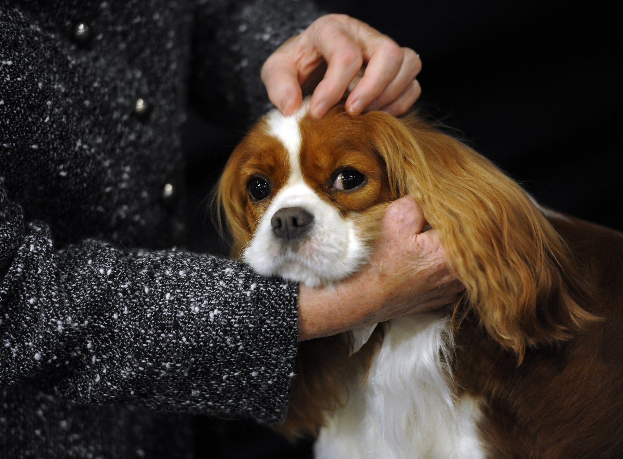 A quiet moment for a Cavalier King Charles Spaniel.
