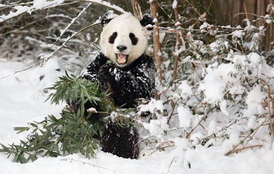 Tai Shan's Last Snowy DC Romp Before Dulles—Chengdu Direct