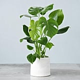 Live Monstera Philodendron