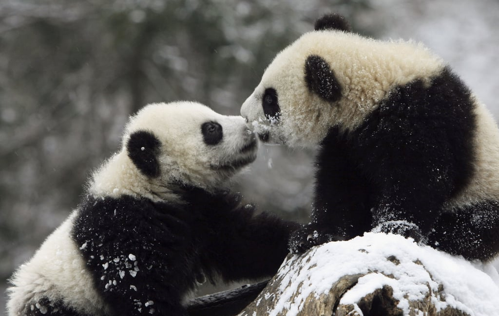 Two Giant Panda cubs kissed on a snowy rock.