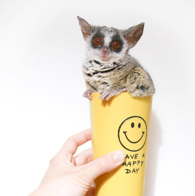 Cute Bush Baby on Instagram | Pizzatoru