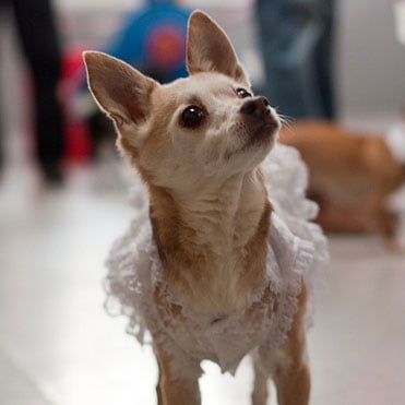 Chihuahua in a Quinceañera Dress