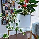 Hedera Algeriensis Ivy