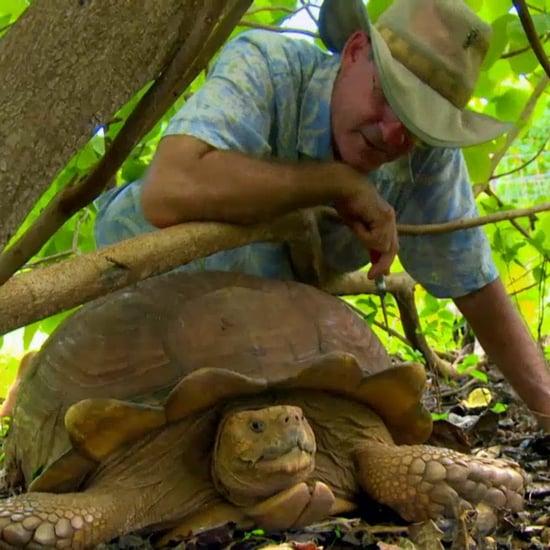 African Spurred Tortoises on Aloha Vet