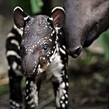 Mama tapirs carry their babies for 13 months before giving birth. That's some pregnancy!