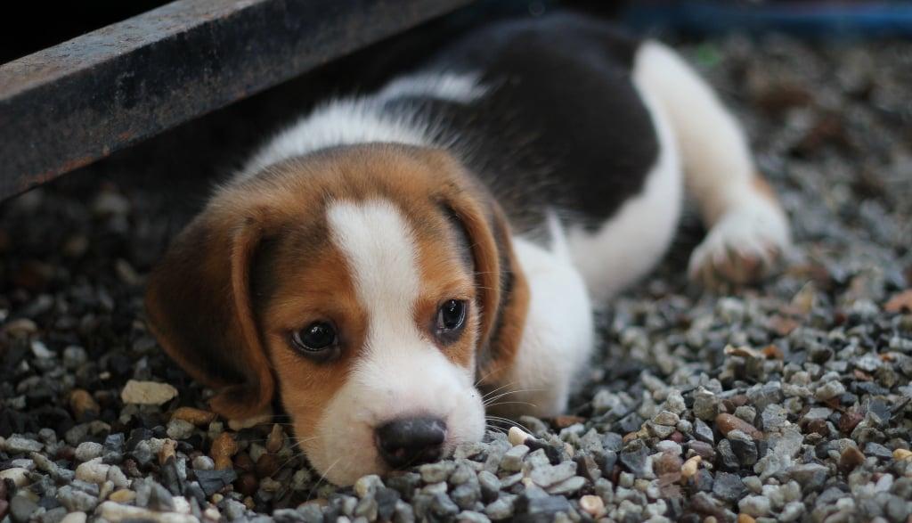 Cutest Pictures Of Beagles Popsugar Pets
