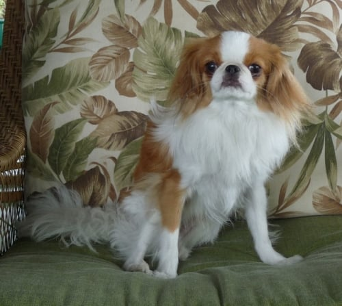 Carl, a Japanese Chin
