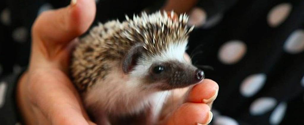 Hedgehog Cafe in Japan