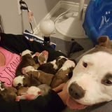 Rescue Pit Bull Showing Off Her Puppies