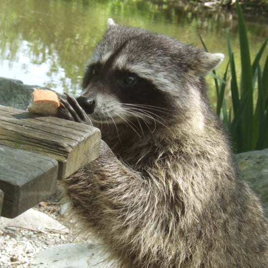 Raccoon GIFs