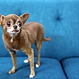 "And this is Chloe Kardoggian. She is coming up on her 12th birthday in May and has been with her current human for two years. Chloe's human said: ""She came to me through a friend of a friend who was helping her grandmother rehome her after an accident left the grandmother unable to care for Chloe anymore. This had been Chloe's third or fourth home as she wove her way from a woman who bought her to breed her and gave her away when she was too small to breed. She hopped around between the family members of the grandmother before landing there for about five years."""