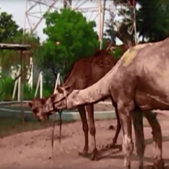 Rescued Camels in India | Video