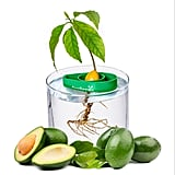 Avocado Tree Starter Kit