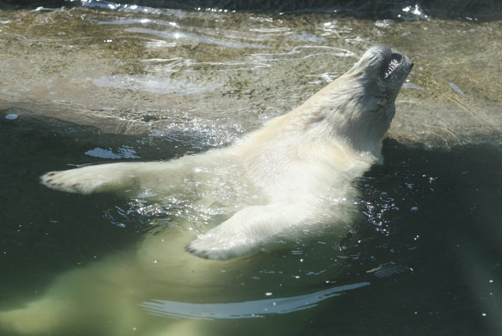 Ahhhhhhh! A polar bear savors a dip in a cool pool in Moscow.