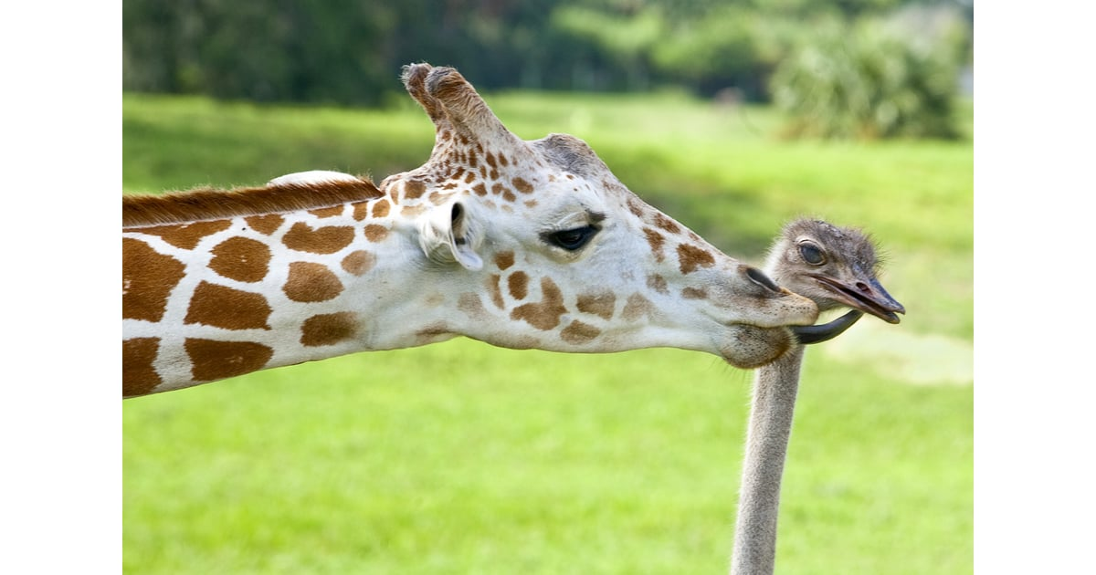 This Ostrich Must Be Sweet Because His Giraffe Friend