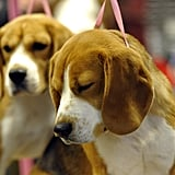 This Beagle pauses for reflection before his group enters the ring.