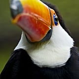 Look out! A toco toucan's bill can reach inches inches, so don't let your camera get too close.