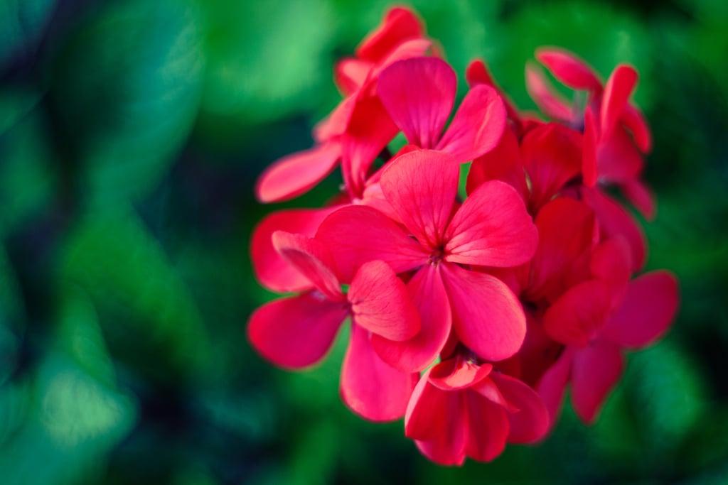 Rose-Scented Geranium