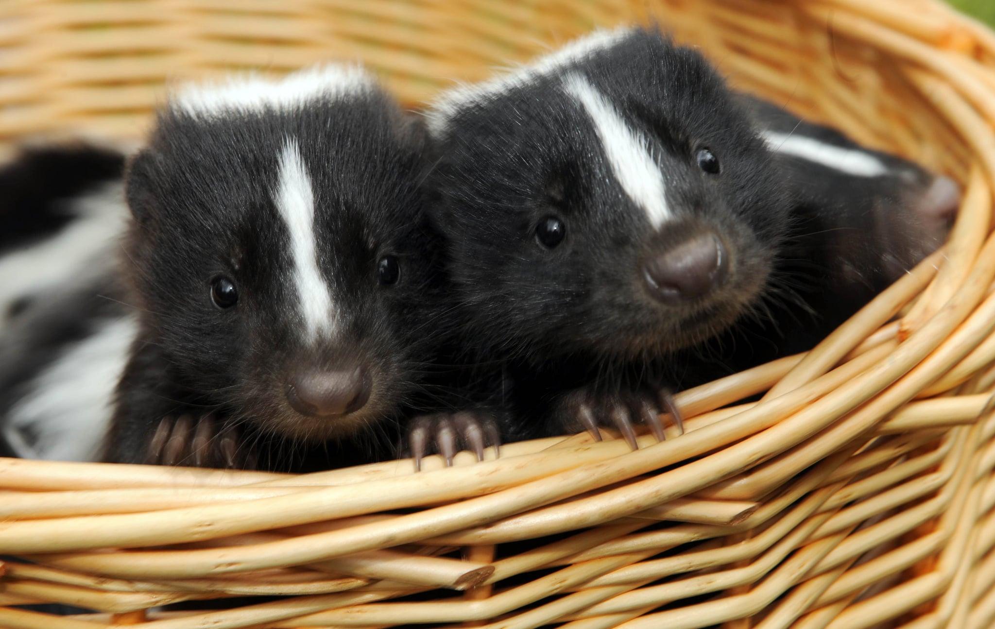 pictures of baby skunks popsugar pets