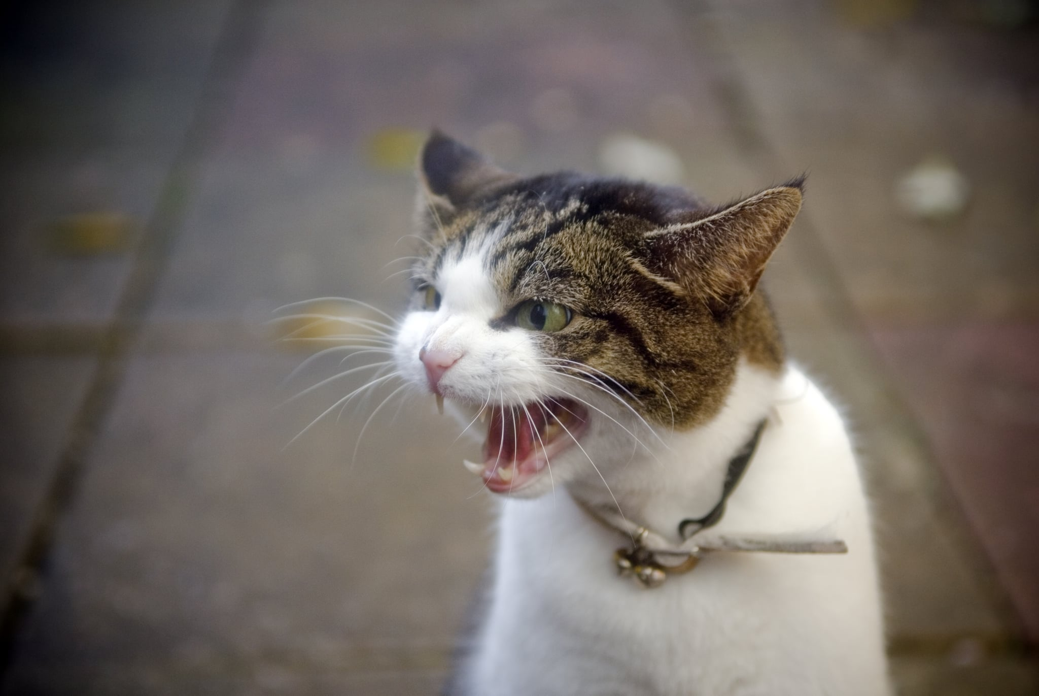 An angry domestic tabby cat hisses, showing her teeth.
