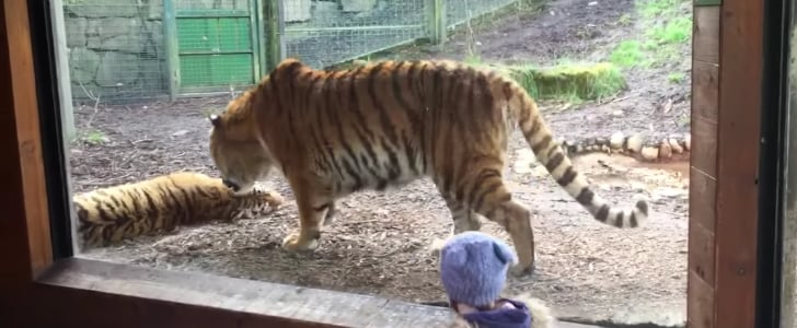Tiger Woken From Nap | Video