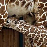 Giraffes spend between 16-20 hours a day feeding.