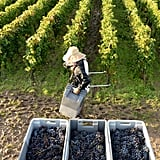 Workers carried crates of harvested grapes through the vineyard in Martillac, France.
