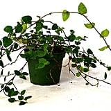 Creeping Fig Plant